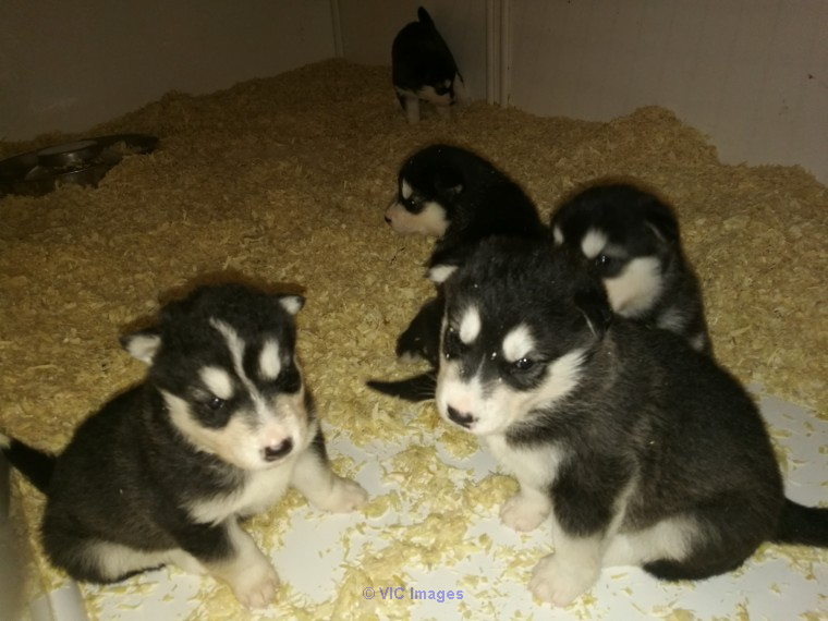 Beautiful Kc Registered Malamute Pups For Sale Ottawa, Ontario, Canada Annonces Classées