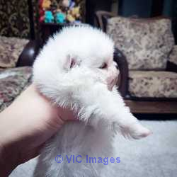 Mini teacup Pomeranian puppies available for sale